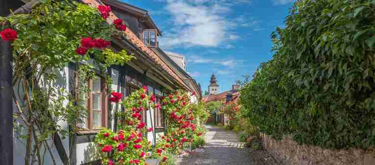 Visby roses at summer on Gotland