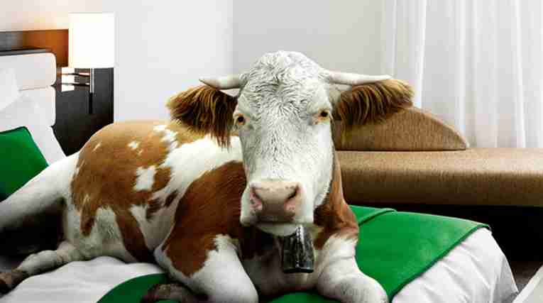 cow on bed