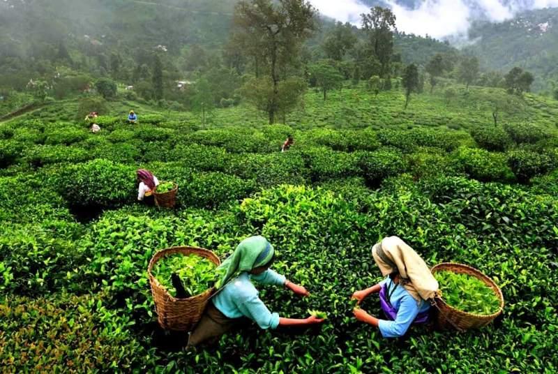 Дарджилинг – вкуснейший чай с горных склонов Гималаев - фото.