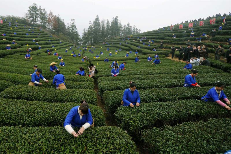 Становление зеленого чая в Китае