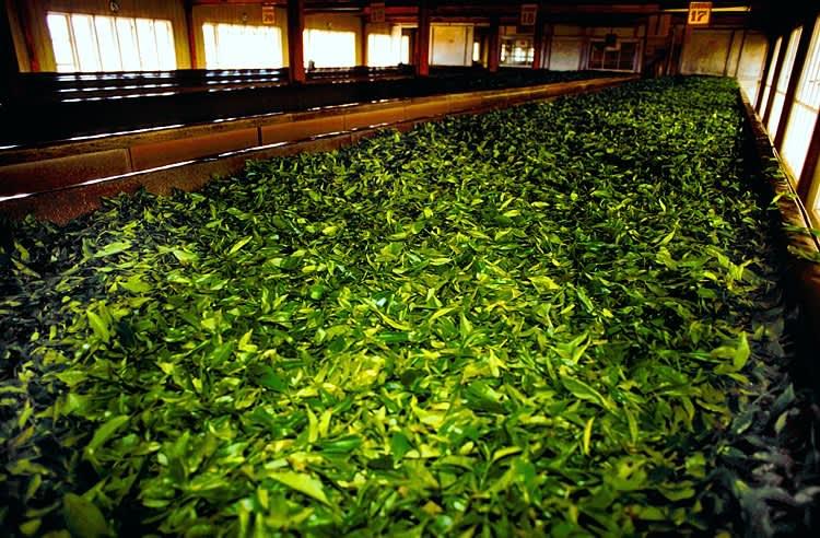 Ферментация чая, что это такое