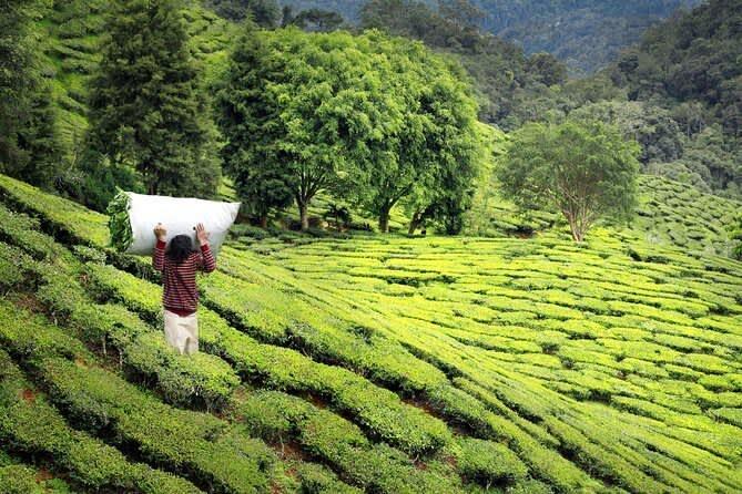 Индийский чай Дарджилинг