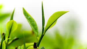 Полезность зеленого чая для кожи