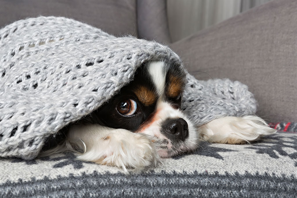 cute-dog-under-grey-blanket