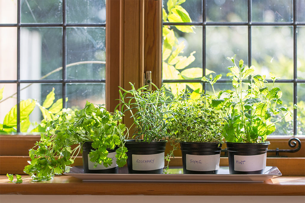 herbs in plant pots growing on a window sill