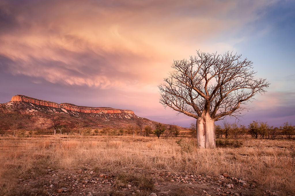 boab-tree-cockburn-ranges-kimberleys
