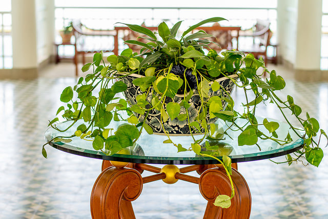 golden-pothos-plant