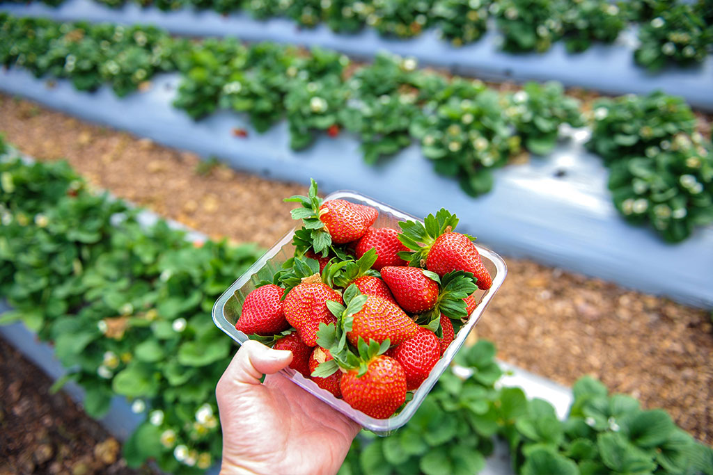 fresh-strawberries-caboolture-qld-copy