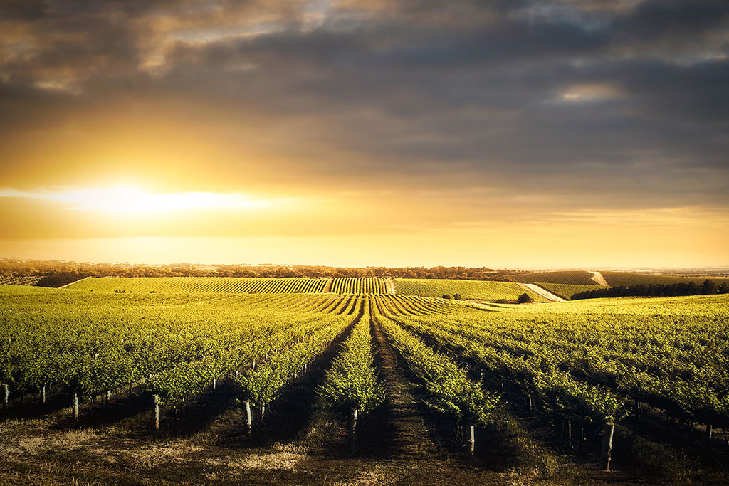 vineyard-in-the-adelaide-hills-sa