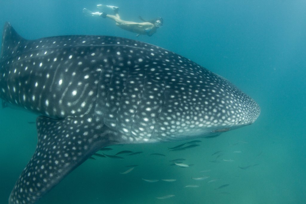 whale sharks in baja