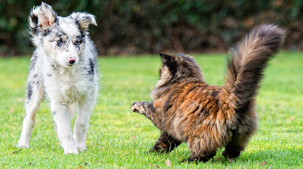 Image result for dog chasing cat