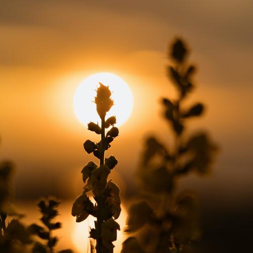 Sonnenuntergang hinter Grashalmen