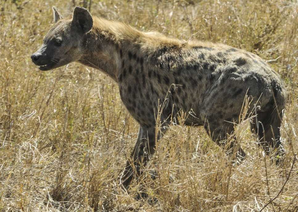 Hyena, Serengeti National Park