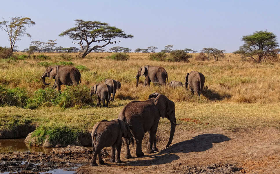 African Elephants, Serengeti