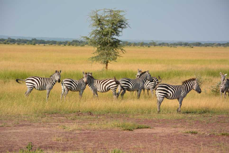 Zebras, Serengeti National Park
