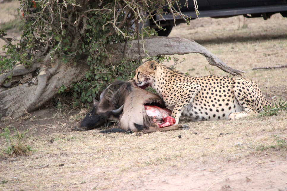 Cheetah eating a Pumba