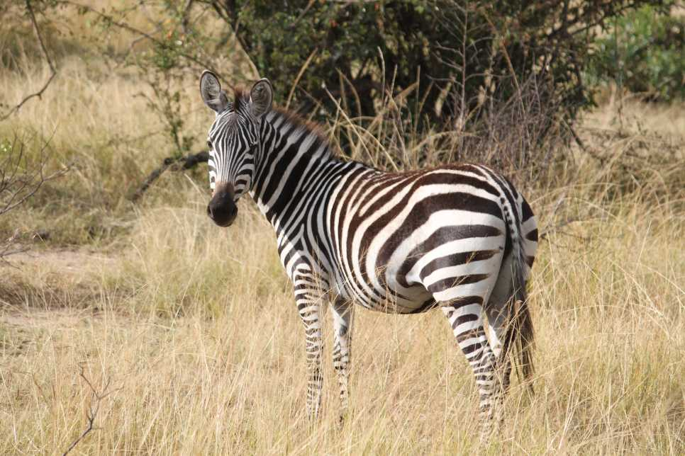 Zebra, Serengeti National Park