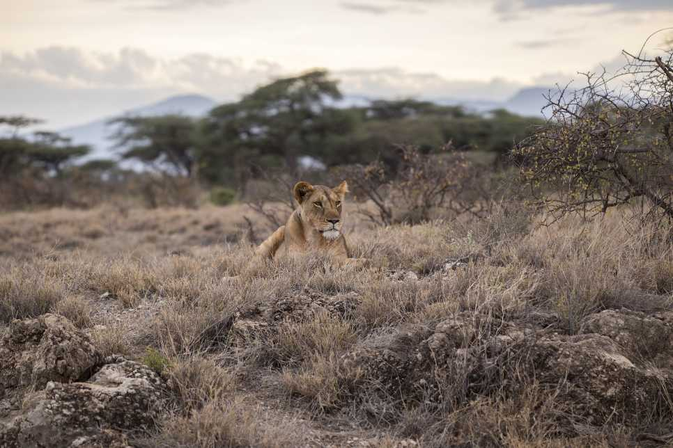 Lioness, Serengeti National Park