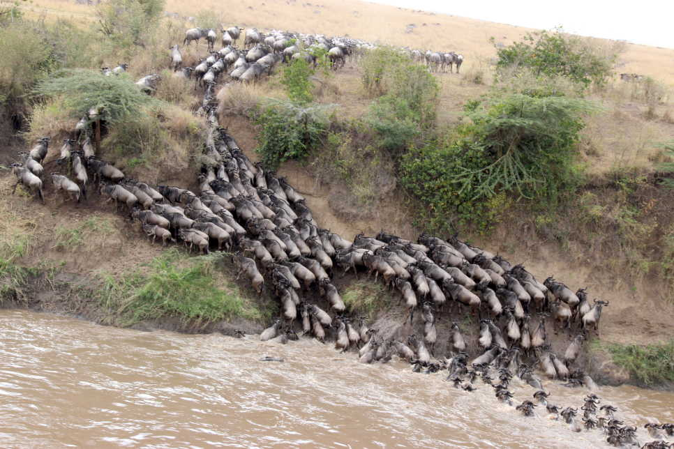 Wildebeest Crossing, Masai Mara