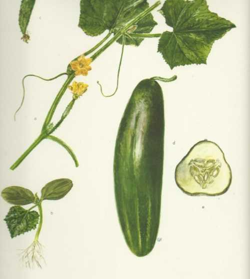 cucumber illustration