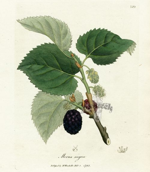 mulberries diagram
