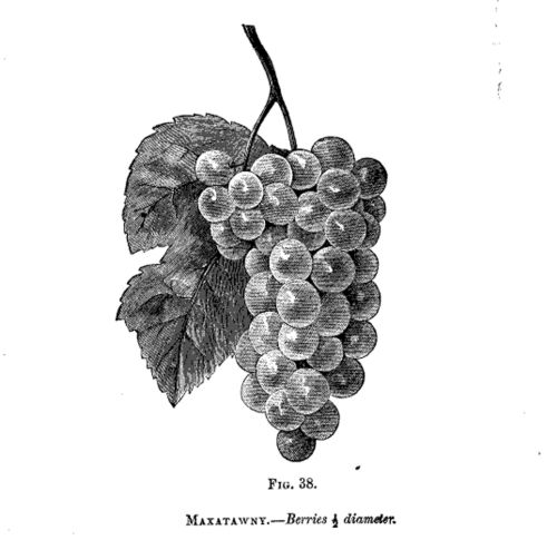 grape diagram