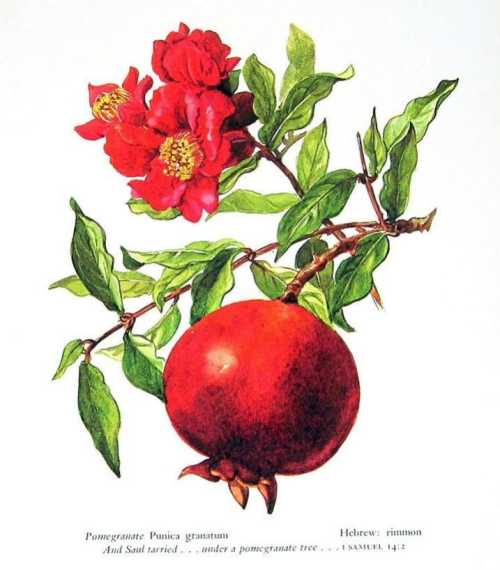pomegranate diagram