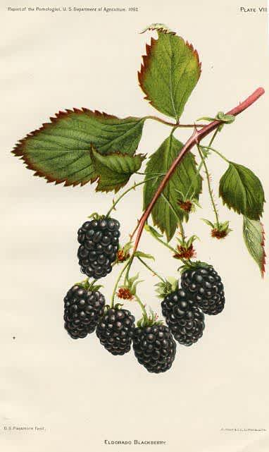 blackberries diagram