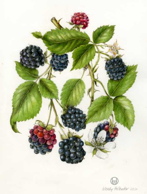 boysenberry diagram