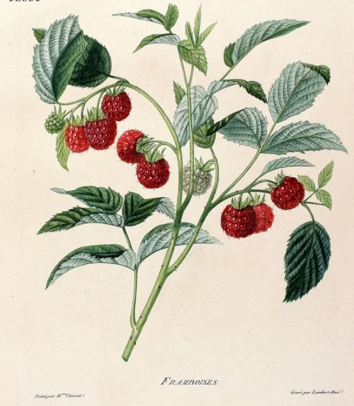 raspberries diagram