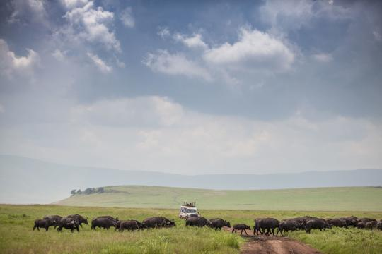 TZ Tansania The Manor at Ngorongoro - activities - game drive & herd of buffalo (c) Silverless-4