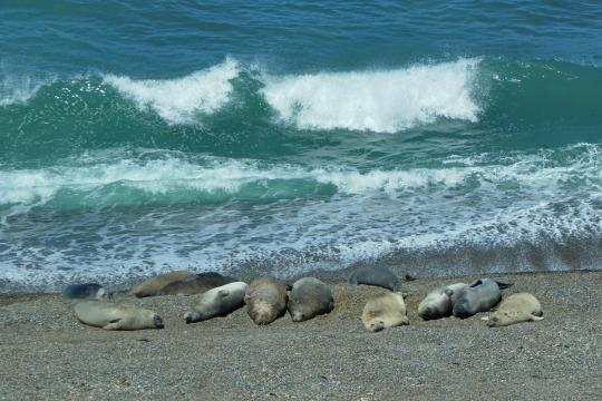 ARSICARGE3 Argentinien & Chile - Patagonien arg madryn peninsula valdes elephant seals 01 c sat ad (1)