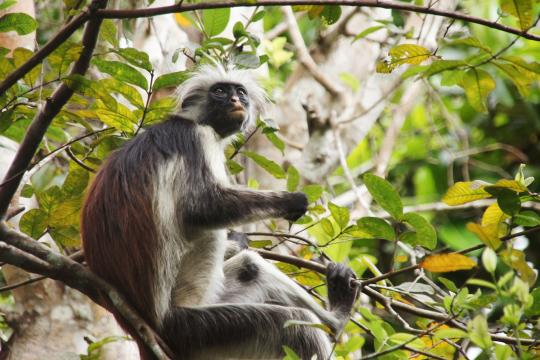 ZNZ Sansibarred-monkey-3734813