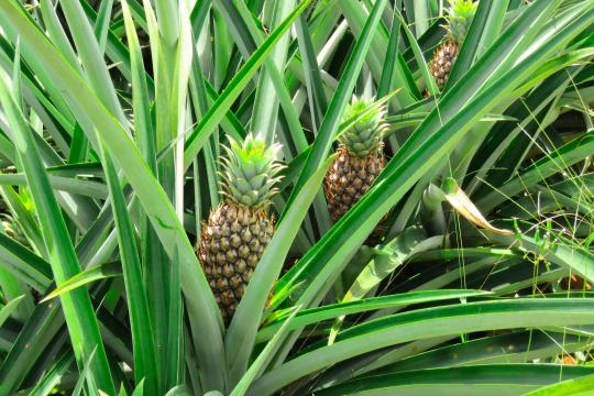 PA Panama Pineapple Farm (1)