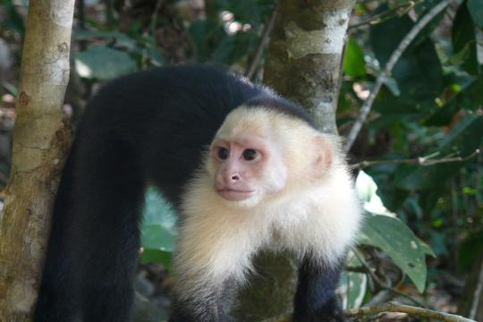 CR Costa Rica White Faced Capuccin