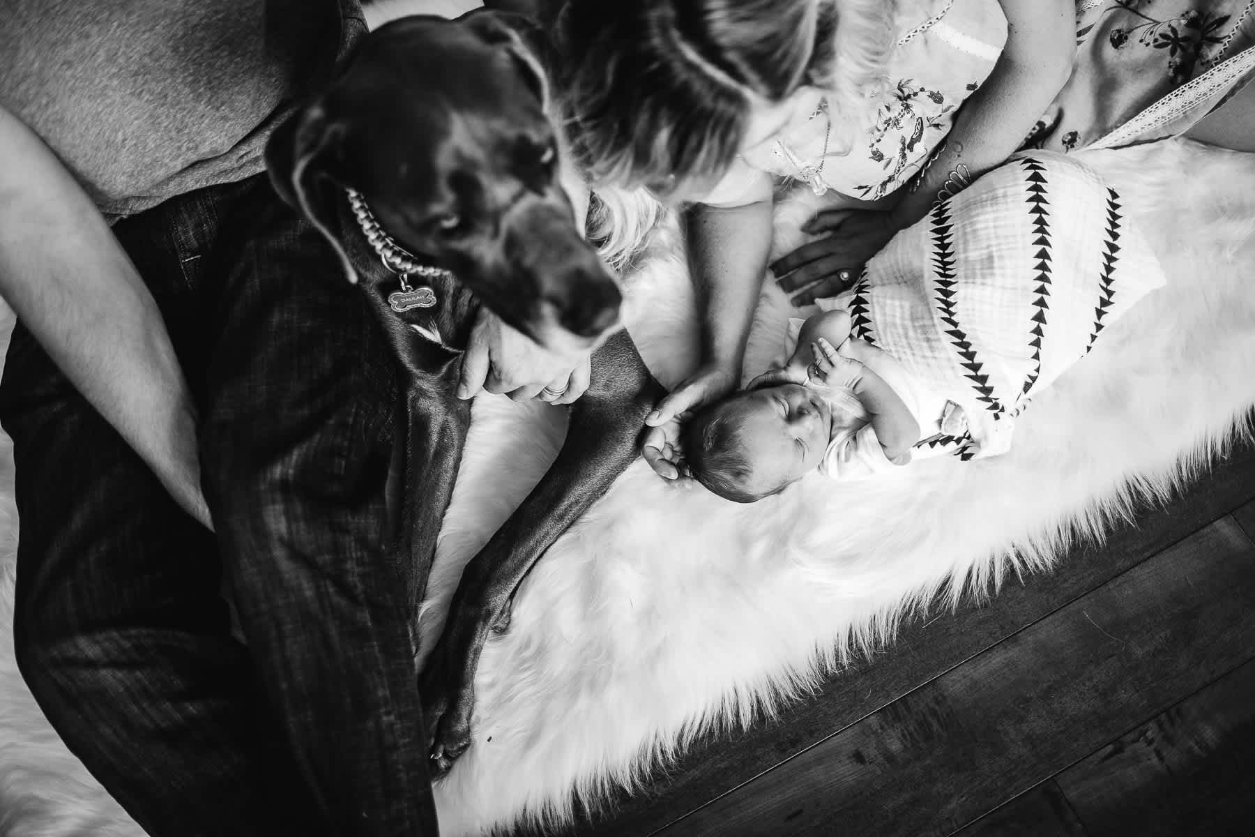 in-home-lifestyle-newborn-with-great-dane-dog-17