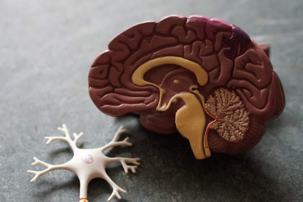 plastic model of brain