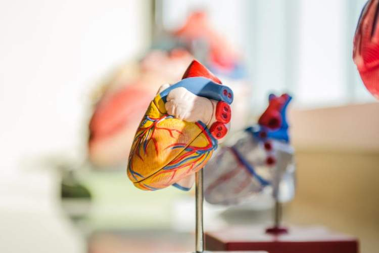 heart anatomical model