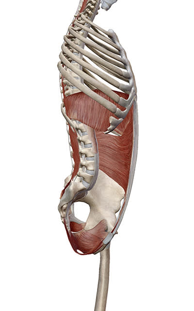 Side view of the core muscles