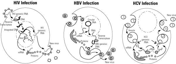 Lifecycles of HIV Infection, HBV Infection and HCV Infection