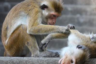 Exciting Results in Monkeys Lead to a Clinical Trial in Humans Img