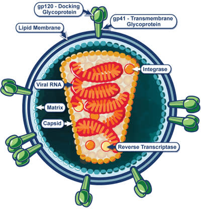 Structure of HIV