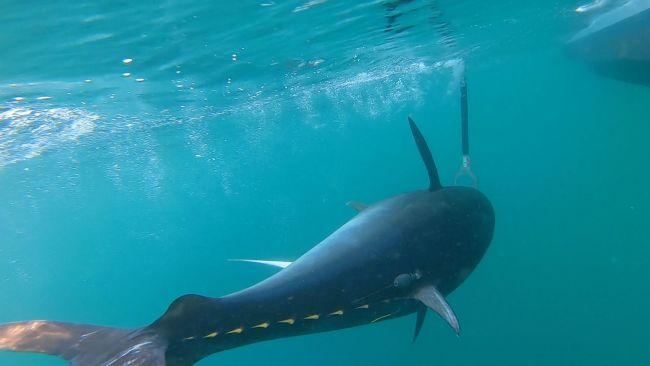 Tuna Tagging