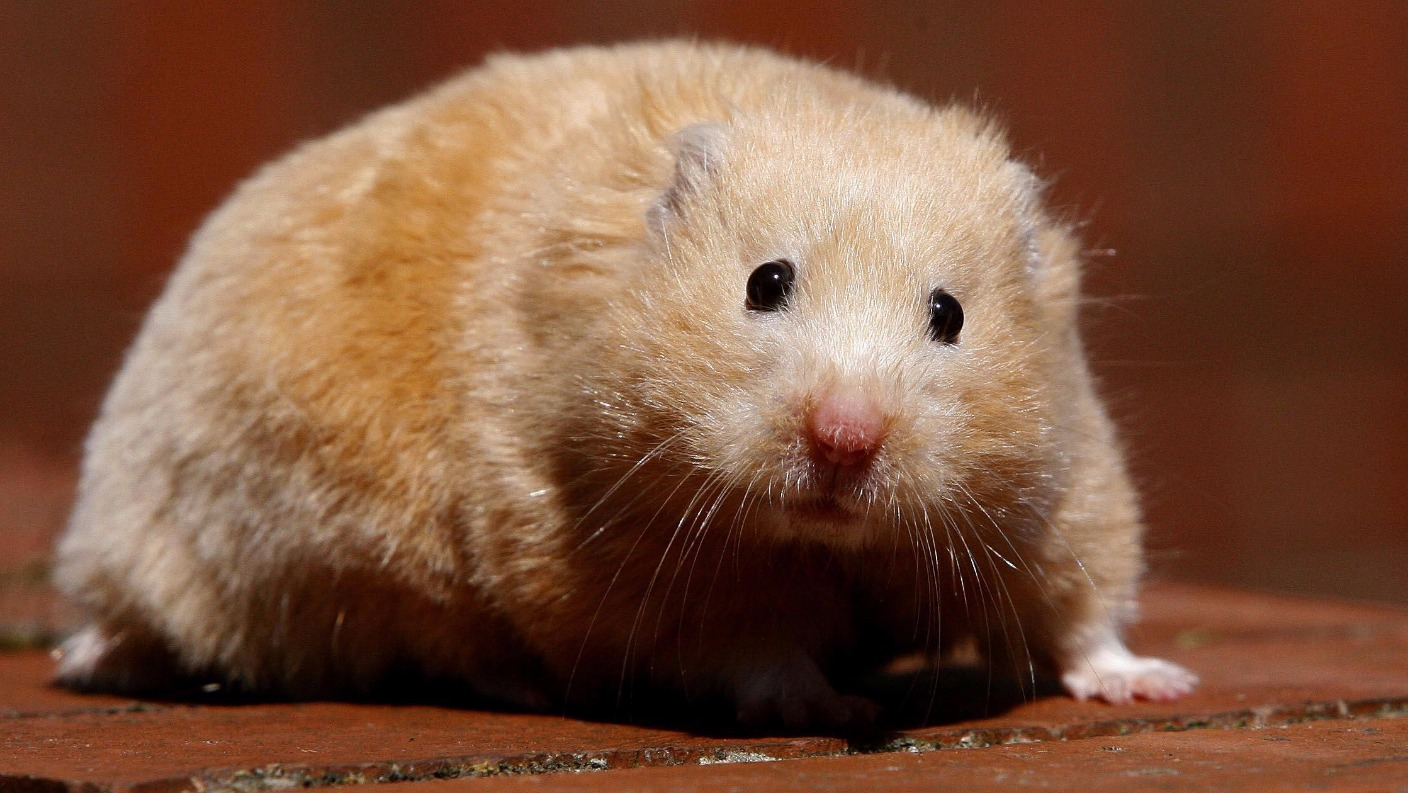 Man Calls Police To Report Ex Girlfriend For Overfeeding Hamster Leaving Him Looking Like A Fat Little Pig Itv News