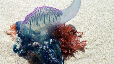 A Portuguese Man O' War Jellyfish. Pic: Dorset Council