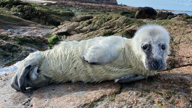 The washed up seal pup in Jersey.