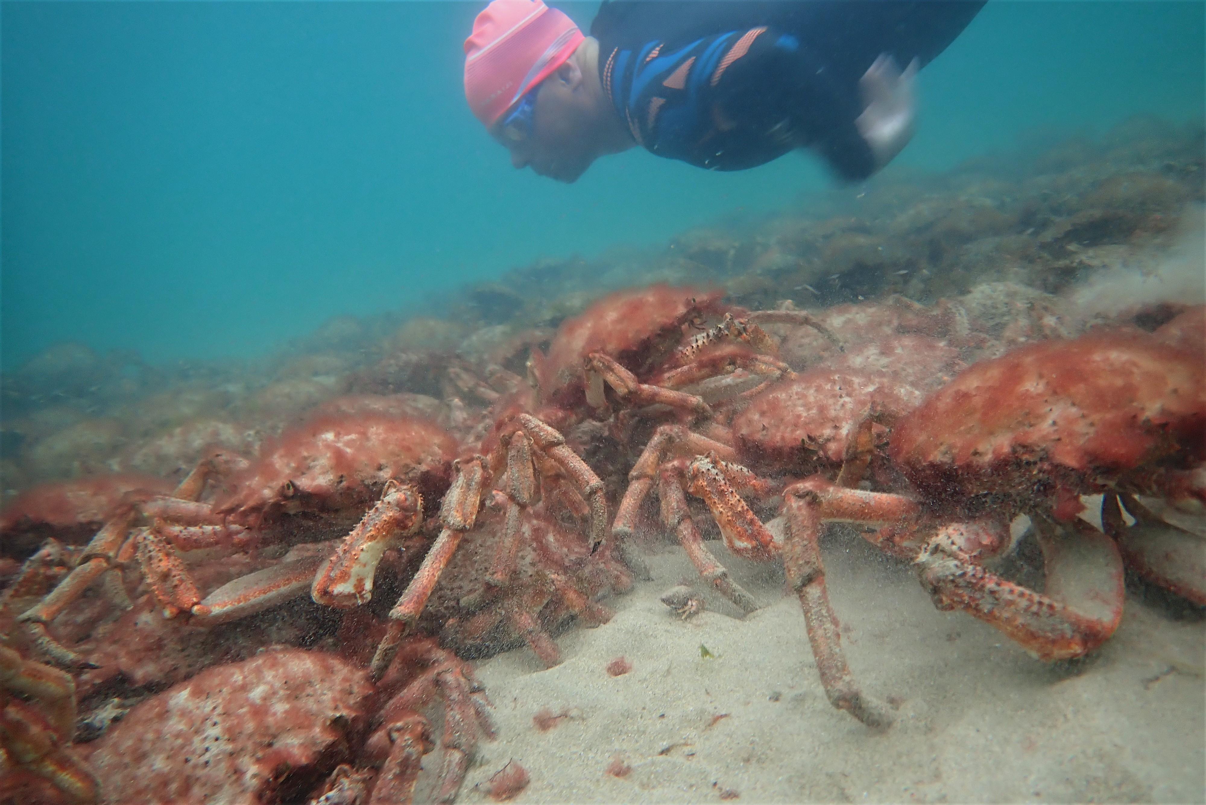 Cornwall News - Spider Crabs Mass Gathering