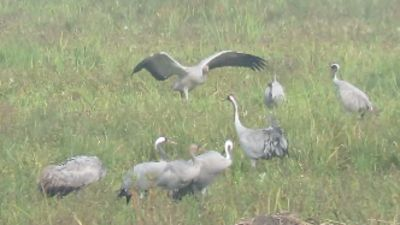 Conservation efforts have boosted the numbers of cranes in the UK.