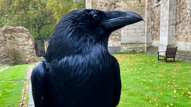 140120 Queen Raven at Tower of London (c) Twitter/Tower of London