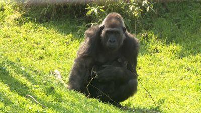 Gorilla at Durrell. Credit ITV Channel TV